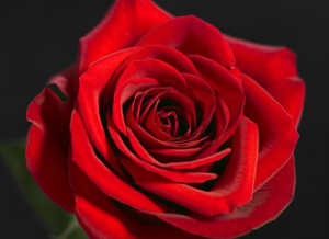 Closeup of a red rose.