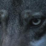 Пока волк бежит